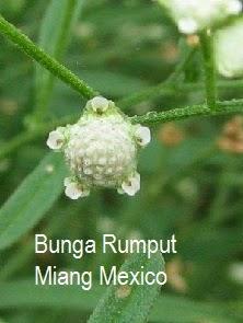 bunga rumput miang mexico