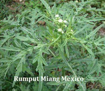 Rumput Miang Mexico