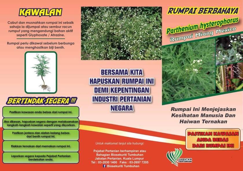 Rumput Miang